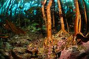 Kelp forest (Laminaria hyperborea), Atlantic Ocean, Strømsholmen, North West Norway | Kelpwald oder Algenwald hauptsächlich Palmentang (Laminaria hyperborea) Atlantischer Ozean, Strømsholmen, Nordwestküste von Norwegen