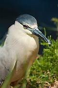 Black-crowned night-heron by marsh in Hawaii