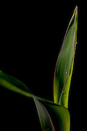 Stock shots of a corn plant seedling growing..Photo stock for Ethanol in the Midwest.Photo by Chris Machian