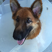 "EXCLUSIVE<br /> MSPCA-Angell Rescues Dog Who Chewed Off his Own Foot While Tethered Outside<br />  <br /> Organization's Adoption Center Raising Funds for Surgery While its Law Enforcement Team Pursues Felony Cruelty Conviction<br />  <br />  An emaciated two-year-old long-haired German Shepherd is lucky to be alive after chewing his own foot off in a desperate bid to free himself from the tether that was twisted around his leg for days, if not weeks, the MSPCA-Angell announced today.<br />  <br /> ""Maverick"" was seized on July 12 by MSPCA Law Enforcement Officer Chelsea Weiand after the Middleboro, Mass. animal control officer discovered the dog and rushed him to a nearby animal clinic, where he was sedated so veterinarians could clean the severe wound to his right rear foot.  Officer Weiand later took Maverick to the MSPCA's Angell Animal Medical Center in Boston for ongoing treatment.<br />  <br /> Weiand noted that Maverick's other legs were covered in rope burns and scars that had healed over.  ""Clearly he had been entangled by his own leash many times in the past; unfortunately he was unable to free himself this last time,"" she said.  Weiand estimates that Maverick had been tethered and unattended for at least a full day before he injured himself.<br />  <br /> On July 19 Weiand charged the dog's previous owner, Kevin Kennedy of Middleboro, with one count of felony animal cruelty for neglect and failure to pursue necessary veterinary care.  Kennedy will be arraigned in Wareham District Court on August 18.<br />  <br /> One-of-a-Kind Surgery <br /> An injury such as Maverick's would typically be addressed by amputating the entire leg.  But, according to Dr. Mike Pavletic, head of surgery at Angell, the dog's hips are also compromised, taking that treatment option off the table.  ""His pelvic dysplasia has advanced to the stage that he simply wouldn't be able to walk if we took his leg off,"" said Pavletic.<br />  <br /> Pavletic will instead deploy a technique he himself developed years ago: he will reconstruct for Maverick a funct"