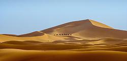 A camel train crossing the erg at Chegaga, southern Morocco<br /> <br /> (c) Andrew Wilson   Edinburgh Elite media