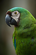 Chestnut-fronted Macaw (Ara severus) CAPTIVE<br /> Yasuni National Park, Amazon Rainforest<br /> ECUADOR. South America<br /> HABITAT & RANGE: Tropical forests of Northern South America from Panama south into Amazonian Brazil and northern Bolivia.