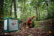 Kato - a large male orang-utan - walks out of his cage at his release site in Bukit Baka Bukit Raya National Park in Central Kalimantan, Borneo, Indonesia on 23rd May 2017.  Kato, and 5 female orang-utans, have come from Nyaru Menteng Rehabilitation Centre, run by the Borneo Orangutan Survival Foundation to be released back into the wild. Kato was rescued in 2003 after being kept illegally as a pet. He has undergone a long rehabiliation process that included living on a pre-release island where orang-utans learn how to survive in the wild.