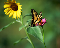 Tiger Swallowtail butterfly on a Zinnia flower. Image taken with a Nikon Df camera and 100-500 mm f/5.6 VR lens
