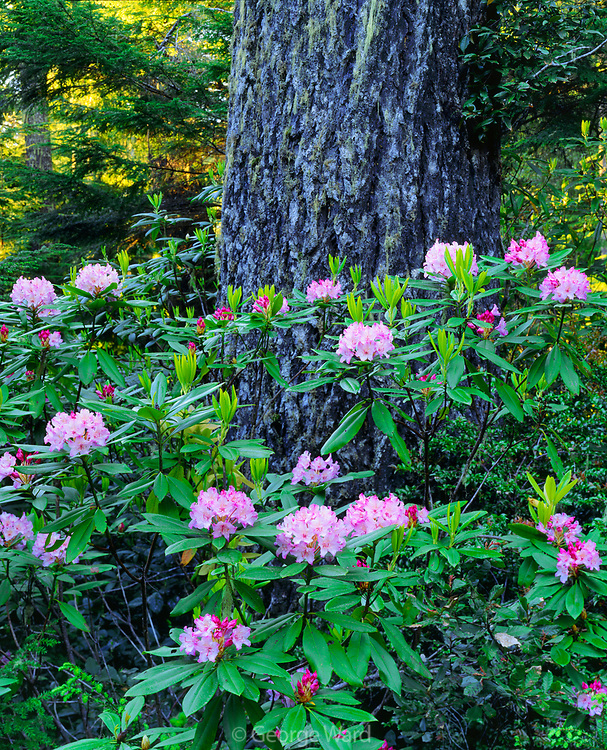 Rhododendron and Old-growth Douglas-fir,Redwood National Park, California
