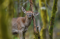 Red Deer, Cervus elaphus, scratching its head in the humid montane mixed forest, Laba He National Nature Reserve, Sichuan, China