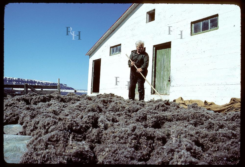 Baldur Bjarnason, farmer of Vigur Island, dries eiderdown pile by raking it in sun in June. Iceland