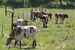 Texas Longhorn Cattle graze in a pasture which has a 6 strand barbed wire fence.