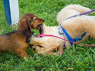 Puppy play at the Ludwig's Corner Horse Show.