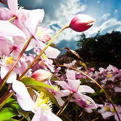 Clematis flowering