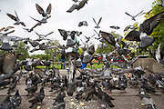 A feeding frenzy of pigeons on the pavement in front of Marble Arch, Central London. United Kingdom.