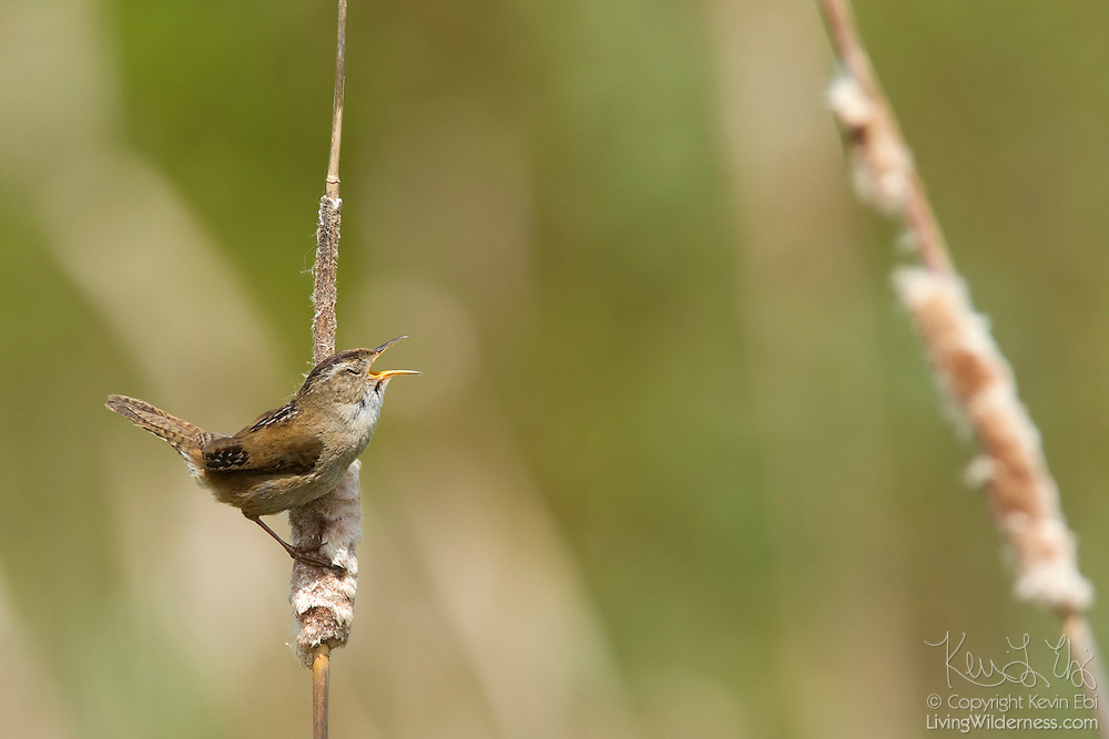 A marsh wren (Cistothorus palustris) sings from its perch on a cattail near Swan Lake, Victoria, Canada. Marsh wrens are song birds that have very large repertoires. Scientists found one western marsh wren that sang 219 different songs. Western marsh wrens know more songs than eastern birds. Eastern males know about 50 songs on average; western varities know about 150.