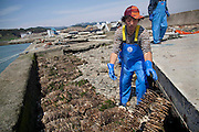 Fishermen set up the scallops with seeds of oysters on the destroyed fishing port, which almost lost its function as a port. It takes at least two years to bring up oysters.