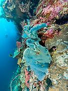 Giant Mushroom coral at Otto's Point Reef, Tufi, Papua New Guinea