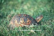 02538-001.16 Common Box Turtle (Terrapene carolina)    IL