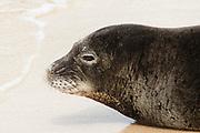 Hawaiian Monk Seal rests on the beach closeup-endangered specie.(Monachus schauinslandi).Kauai, Hawaii