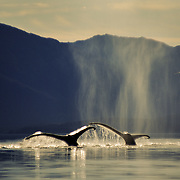 A pair of humpback whales (Megaptera novaeanglia) sounding, Icy Strait, Southeast Alaska, USA.<br /> <br /> I never tired of photographing the whales when they were sounding (diving), because the flukes are such a beautiful shape and the motion is so graceful as they raise them prior to sliding into the water, whilst shedding a sparkling waterfall. There was also the additional aesthetic element of their ethereal breath, which always looked much better than the smell, which is foul and very fishy; research has revealed many harmful pathogens contained in their breath. There are also droplets of mucous that often coated myself and my lens, giving the soft-focus effect evident in this photo, but I usually tried to avoid getting engulfed by their foul-smelling breath.