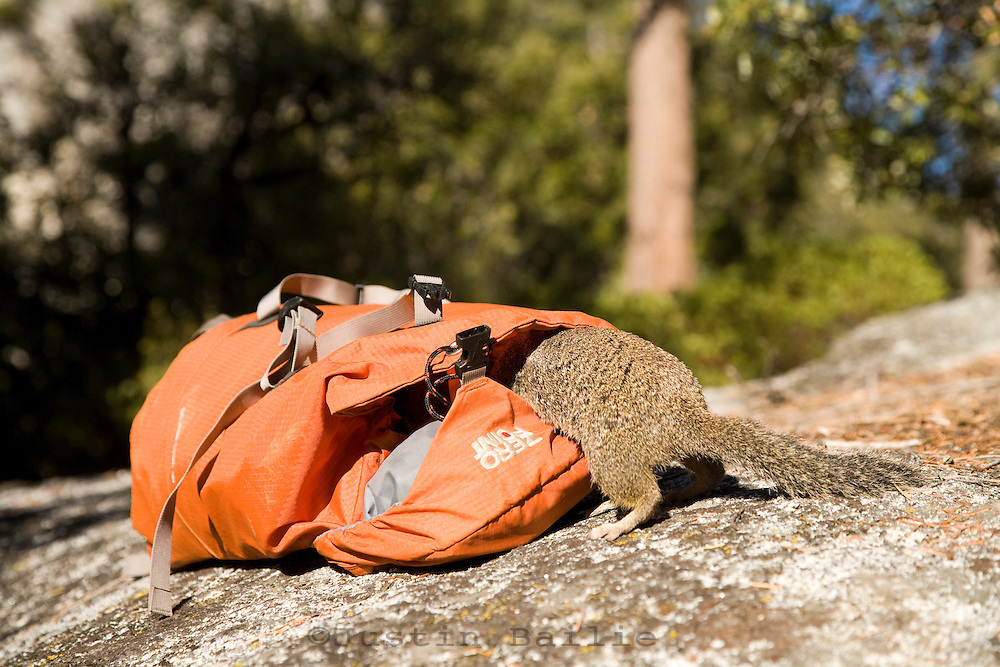 Ground squirrel getting into a backpack.Yosemite National Park, Ca.