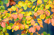 Beech leaves turning from green to brown, in a beechwood in autumn, Oxfordshire, England,  United Kingdom