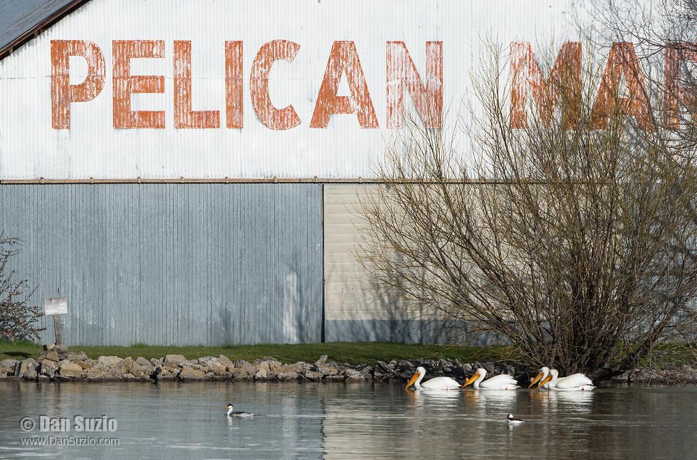 American White Pelicans, Pelecanus erythrorhynchos, swim past Pelican Marina on Upper Klamath Lake, Klamath Falls, Oregon