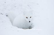 01863-01709 Arctic Fox (Alopex lagopus) at food cache, Cape Churchill, Wapusk National Park, Churchill, MB Canada