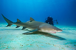 Lemon Shark, Negaprion brevirostris, and scuba diver, West End, Grand Bahama, Bahamas, Caribbean, Atlantic Ocean