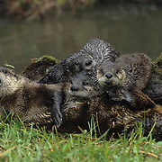 River Otter, (Lutra canadensis) Adult and young on mossy log near river. Spring.  Captive Animal.