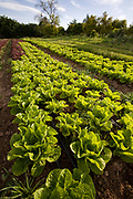 Lettuce crops. The Center for Urban Agriculture at Fairview Gardens is one of the oldest organic farms in California. Located on 12 acres, the 100-year-old farm provides the community with organic fruits and vegetables. Goleta, California