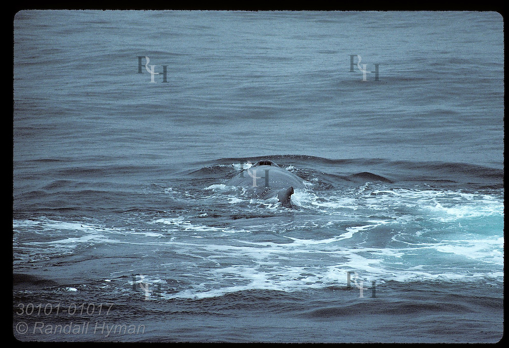 Nostrils of humpback whale are clearly seen as it surfaces on a summer even in the West Fjords. Iceland