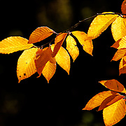American Beech Tree with fall colors