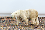 Polar bear (Ursus maritimus) walking on spit on Barter Island near Kaktovik in Arctic National Wildlife Refuge in the Far North of Alaska. Autumn. Afternoon.