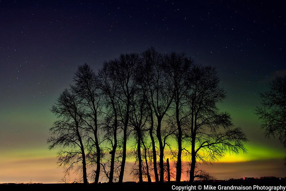 Northern lights (Aurora borealis)  and plains cottonwood<br /><br />Manitoba<br />Canada