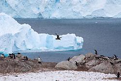Brown Skua Flying Above Gentoo Penguin Rookery, Neko Harbor, Antarctica