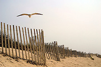 13 August 2002:  A single seagull bird fly's along the shore at Surfer's Beach at Sunset in Nantucket Island off Cape Cod, MA.  Sand, grass, fence, bird, seagull, white, green, scenic, art, graphic.  Available for all uses.