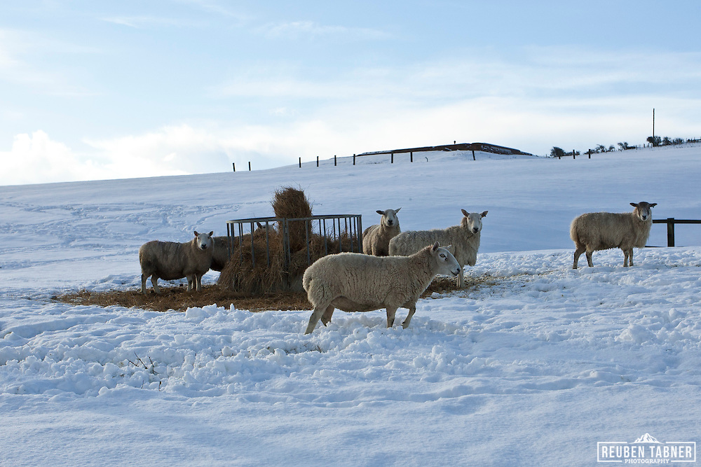 Sheep feed from cattle feeders in the bitterly cold November snow, on the cliff tops in North Yorkshire.