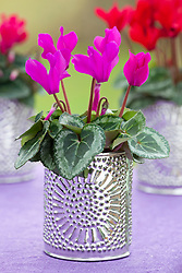 Cyclamen potted into decorative silver pots