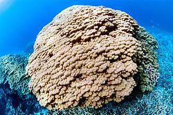 finger coral, .Porites compressa, .Honaunau Bay, Big Island, Hawaii (Pacific).