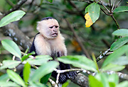 An anxious looking white faced capuchin monkey (Cebus capucinus) pauses while feeding. Drake Bay, Corcovado National Park, Golfito, Costa Rica. 25Nov13