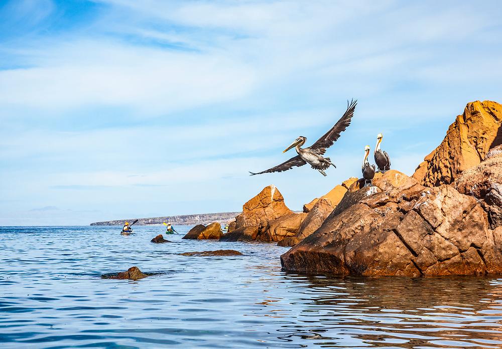 Brown Pelican takes flight. Isla Espiritu Santo, Baja California Sur, Mexico.