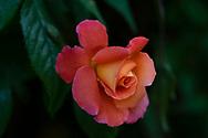 Rosa, an orange and yellow rosebud