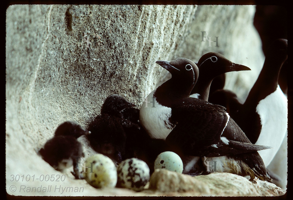 Common murres (Uria aalge) crowd along narrow ledges with chicks and eggs in July on Bjarnarey Isle; Westmann Islands, Iceland