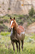 Wild horse after mud bath in Theodore Roosevelt National Park, North Dakota, USA