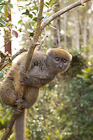 Lemur on a branch, Antananarivo, to Ranomafana National Park. Wildlife fine art photography prints