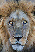 A close-up portrait of a male lion( Panthera leo ) with open eyes, Kalahari Desert, Botswana, Africa
