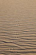 Coyote tracks on the Killpecker Sand Dunes in the Red Desert of Wyoming