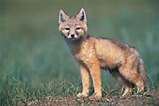 Corsac fox cub<br /> (Vulpes corsac)<br /> Steppe<br /> Mongolia<br /> Range: se Russia to Manchuria & Afghanistan