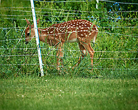 Spots behind the fence. Image taken with a Nikon D5 camera and 600 mm f/4 VR lens