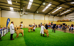 Lanark Scotland 15th April 2017:  The Second Scottish Alpaca Championship, organised by the Scottish Alpaca Group, took place on Saturday 15th April 2017 at Lanark Auction Market. The event had a record entry of 140 alpacas being shown and judged.<br /> <br /> Judging in progress in the show ring.<br /> <br /> <br /> (c) Andrew Wilson | Edinburgh Elite media