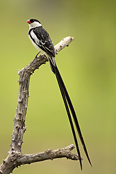 July 6, 2015 - Pintailed Whydah, male, Sabie Sand Game Reserve, South Africa  (Credit Image: © Tuns/DPA/ZUMA Wire)