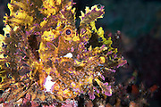 An unusual member of the Scorpionfish family that is rarely observed.  Colours can vary from purple, brown and white to red and yellow.  A bottom dweller that uses stealth and ambush tactics to capture its prey